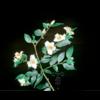 Camellia (botanique) fraterna