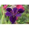 Iris louisiana 'Jack Attack'