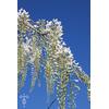 Wisteria floribunda 'Longissima Alba'