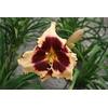 Hemerocallis 'Sabine Baur'