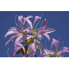 Rhododendron macrosepalum 'Koromo-shikibu'