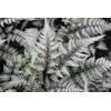 Athyrium niponicum 'Ghost'