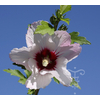 Hibiscus syriacus 'Pinky Spot'