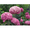 Hydrangea arborescens INVINCIBELLE 'Pink Cushion' cov VALKPLANT