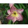 Hemerocallis 'French Lingerie'