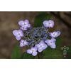 Hydrangea macrophylla 'Vehuiah'