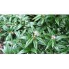 Sarcococca ruscifolia