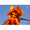 Crocosmia x crocosmiiflora 'Emily McKenzie'