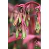 Beschorneria yuccoïdes
