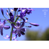 Agapanthus  'Nothern Delight'