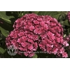 Hydrangea macrophylla  YOU & ME® Together