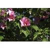 Hibiscus sinosyriacus