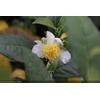 Camellia sp. sinensis (botanique)