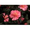Camellia x 'Françoise Dorleac'