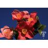 Camellia x  'Minato-no-akebono'