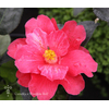 Camellia x 'Freedom Bell'