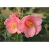 Camellia rosaeflora 'Cascade' (botanique)