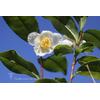 Camellia sp. sinensis var. viridis (botanique)