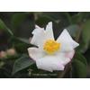 Camellia x sasanqua 'Yoimachi'