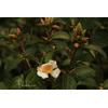Camellia grijsii (botanique)
