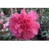 Camellia x 'Anticipation'