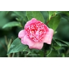 Camellia japonica 'Tiny Bell'