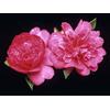 Camellia hiemalis PARADISE® 'Caroline'