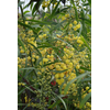 Acacia retinodes 'Palme d'Or'®
