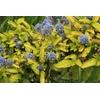 Ceanothus thyrsiflorus 'Zanzibar'®
