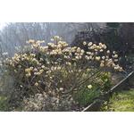 Edgeworthia chrysantha var. grandiflora