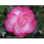 Camellia sasanqua PARADISE® 'Sayaka'