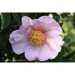 Camellia sasanqua 'Anne-Françoise'
