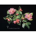 Camellia x 'Fragrant Pink'