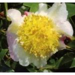 Camellia x 'François Gagnepain'