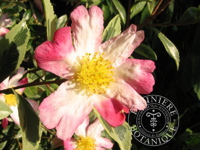 camellia-sasanqua-variegata-10555-b