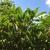 daphniphyllum_macropodum 6