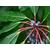 daphniphyllum_macropodum