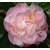 Camellia 'Sweet Emily Kate' - Thoby Gaujacq2
