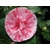 Camellia Stacy Susan  11721
