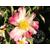 Camellia sasanqua variegata 10555 B