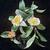 Camellia sasanqua variegata 10555 C