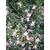 Camellia sasanqua variegata 10555 D