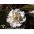 CAMELLIA hybride 'Scentous' 1103 B