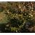 CAMELLIA hybride Scentous 1103 C