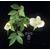 CAMELLIA transnokoensis 11194 B