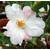 Camellia x transnokoensis Transcom 11612 A-THOBY