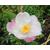 Camellia x transnokoensis Transcom 11612 B-THOBY