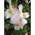 Camellia x transnokoensis Transcom 11612 D-THOBY