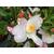 Camellia x transnokoensis 'Transcom' 11612 E-THOBY