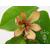 Michelia figo- Thoby 2